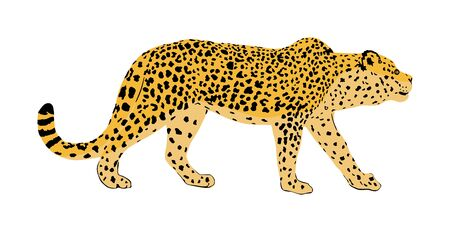Leopard vector illustration isolated on white background. Wild cat in hunt lurking pray. Panther symbol. Silent predator, attraction in zoo park. Big wild cat from Africa and Asia. Lonely carnivore. Illustration