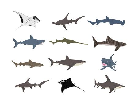 Collection of shark illustration isolated on white background. Great white, bull shark, devil ray, hammerhead, stingray, manta ray, reef shark, whale shark, saw fish. Predator fish in sea, ocean.