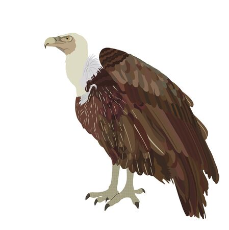 Vulture vector illustration isolated on white background. Big bird symbol. Griffon vulture zoo attraction.