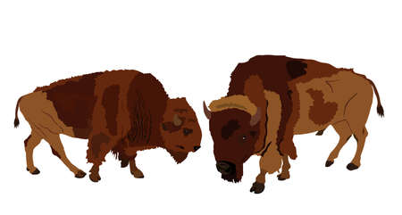 Bison couple vector illustration isolated on white background. Portrait of Buffalo family, male and female, symbol of America. Strong animal, Indian culture.