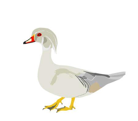 White mandarin duck vector illustration isolated on white background. Exotic bird