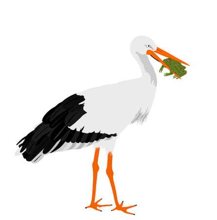 Hunting stork eating frog vector illustration isolated on white background. Visitant migration bird stork in a beak holds a frog.