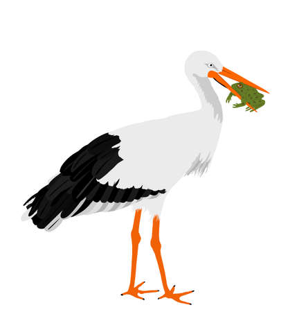Hunting stork eating frog vector illustration isolated on white background. Visitant migration bird stork in a beak holds a frog. Фото со стока - 153644761