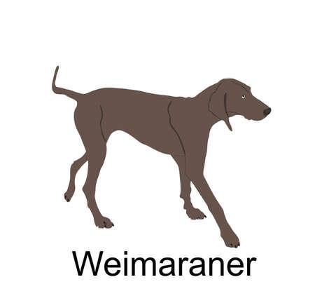 Hunting dog Weimaraner vector illustration isolated on white background. Bird hunter dog pointer. Фото со стока - 153644806