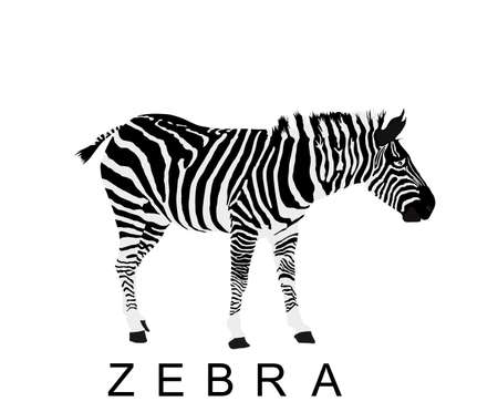 Zebra vector illustration isolated on white background. Zoo attraction, animal from Africa.