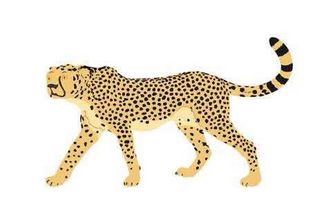 Cheetah vector illustration isolated on white background. Big cat, fastest animal on planet. African safari animal. Elegant gepard.