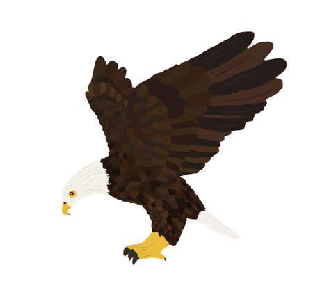 Bald eagle flying vector illustration isolated on white background. Eagle soaring with spread wings.