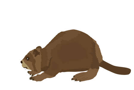 Beaver vector illustration isolated on white background.
