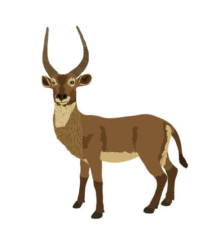 Waterbuck vector illustration isolated on white background. African deer. Safari hunting trophy.
