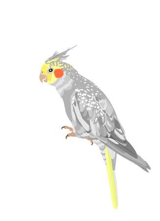 Cockatiel parrot vector illustration isolated on white background. Bird symbol. Corella cockatiel parrot.