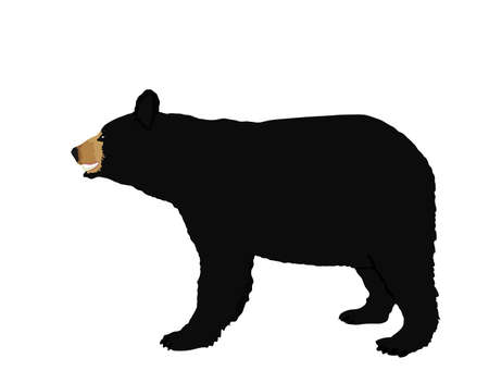 American Black bear vector illustration isolated on white background.