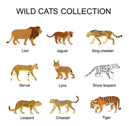 Wild cats collection vector illustration isolated on white background. Lion, jaguar, king cheetah, serval, lynx bobcat, snow leopard, tiger, leopard, cheetah. Wild animal superior predator.