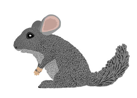 Chinchilla vector illustration isolated on white background. Cute little pet, rodent animal. Ilustração