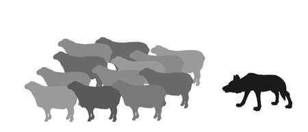 Hungry wolf sneaks up, approach behind back flock of sheep vector silhouette illustration isolated on white background. Danger predator alert for domestic animal crowd. Lamb meat. Damage for farmer.