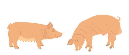Boar and sow, male and female pig vector illustration isolated on white background. Pork meat. Butcher shop wallpaper, poster. Spawn farm animal symbol. Domestic swine. Breeding boar. Organic food. Иллюстрация