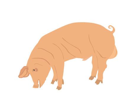Male pig vector illustration isolated on white background. Pork meat. Butcher shop wallpaper, poster. Spawn farm animal symbol. Domestic swine. Breeding boar. Organic food. Иллюстрация