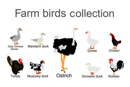 Farm fowl birds vector illustration isolated on white background. Domestic poultry: Turkey, goose, rooster, chicken, duck, ostrich, Chinese goose vector. Ranch animals organic food.