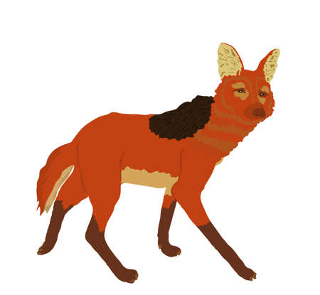 Maned wolf vector illustration isolated on white background. Chrysocyon brachyurus. Rare animal from Southern America continent.