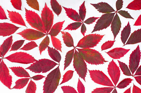 Autumn creative composition. Red leaves, wild grape berries on white wooden background. Pattern made of autumn leaves. Fall, thanksgiving day concept. Flat lay, top view. Stockfoto