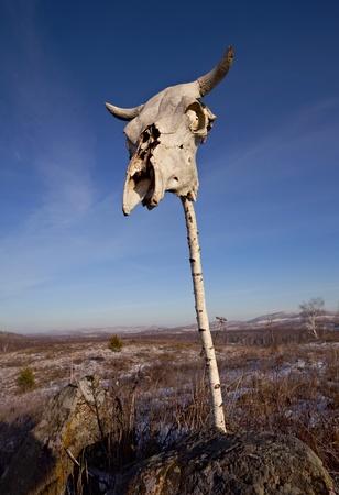 craneo de vaca: Cr�neo de vaca en el Polo