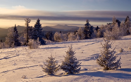snowcovered: Snow-covered firs