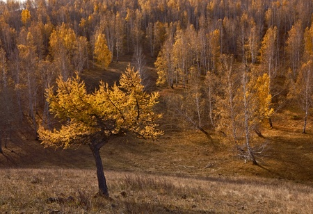 Background with yellow larch photo