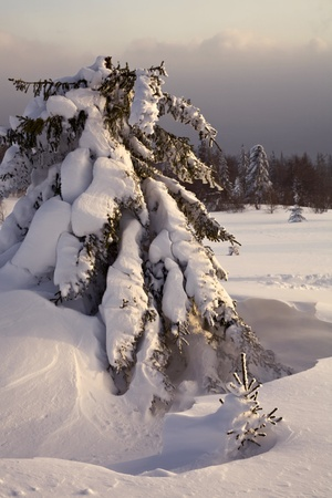 urals: Big and small pines, Russia, South Urals