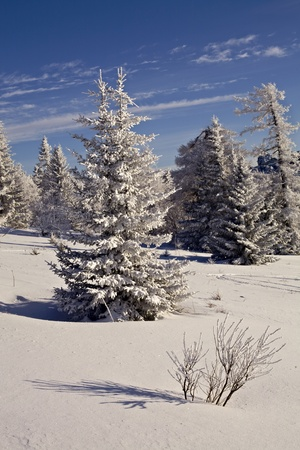 snowcovered: Snow-covered firs and blue sky