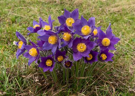 pulsatilla: Bunch of spring flowers (Pulsatilla)