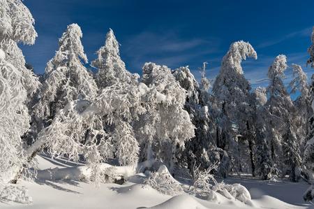 frozen trees: Frozen trees in a winter forest