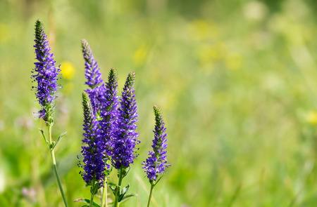 plantaginaceae: Bunch of Veronica spicata flowers on the meadow Stock Photo