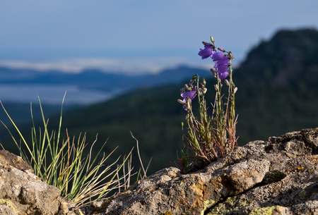 Bellflowers in mountains on the stones Stock Photo