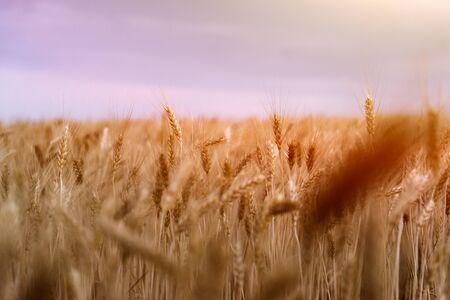 wheat field. ears of corn. sunset