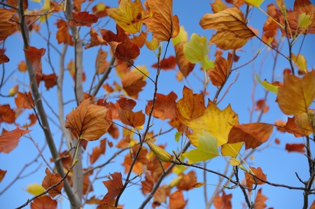 senescence: golden and russet autumn leaves of Liriodendron against clear sky