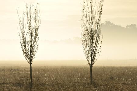 poplars: poplar saplings and cobwebbed fence in early morning mist