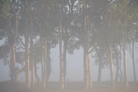 sidelight: windbreak of Tasmanian Bluegum trees in fog