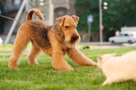 dog leash: Airedale terrier playing with cat on a green lawn