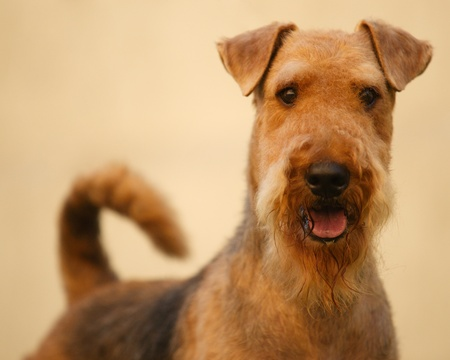 airedale terrier dog: Airedale terrier set to a point