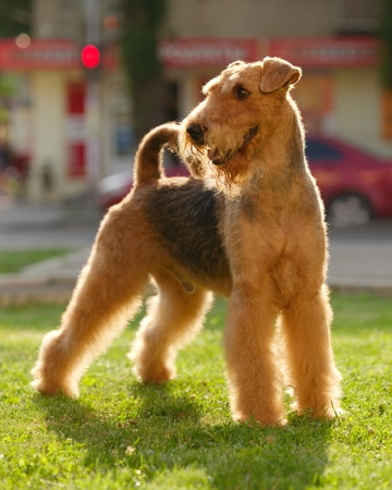 dog park: Airedale terrier set to a point outdoors