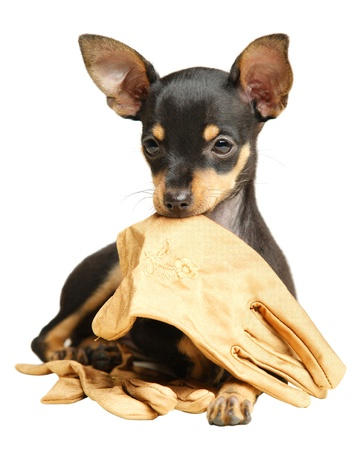 Puppy Russkiy toy terrier with smoothed hair lying with beige gloves in the mouth. Black and tan. Isolated, over white. Diffused light. photo