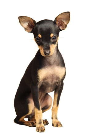 toy terrier: Cucciolo Russkiy toy capelli lisci terrierwith seduta e isolato su bianco