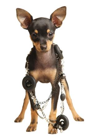 toy terrier: Puppy Russkiy terrier toy con i capelli lisciata con collana. Black and tan. Isolato, su bianco. Luce diffusa.