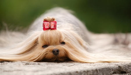 stray dog: Yorkshire terrier with long brown hair and red hairpin lying outdoors on a grey stone. Daylight, stray light, focus on eyes, shallow of DOF