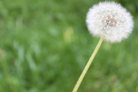 nice image of dandelion on green background Stock Photo - 13513065