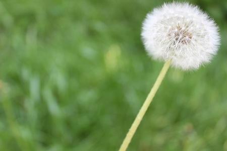 nice image of dandelion on green background Stock Photo - 13513065