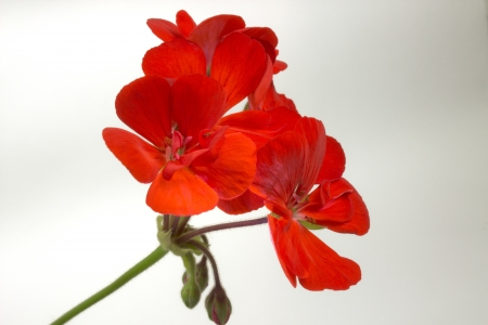 geranium: beautiful blossom red geranium flower on gray  Stock Photo