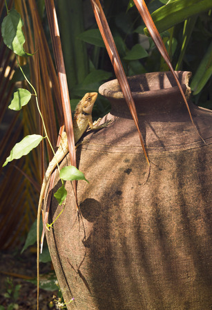 brute: orange lizard with a long tail standing on a old pot. wild reptile