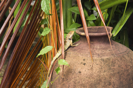 orange lizard with a long tail standing on a old pot. wild reptile