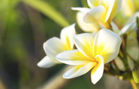 tropical tree: purity of white Plumeria or Frangipani flowers. blossom of beautiful tropical tree