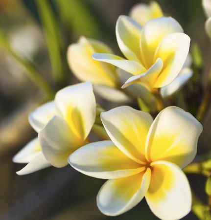 tropical tree: freshness of white Plumeria or Frangipani flowers. blossom of beautiful tropical tree Foto de archivo